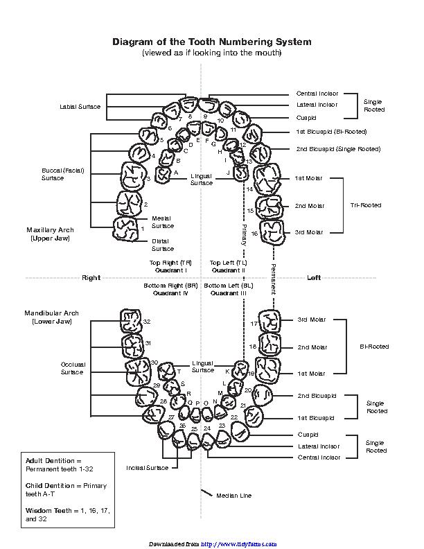 Teeth Numbers Chart